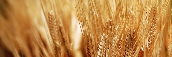 """Modern wheat a """"perfect, chronic poison,"""" doctor says"""