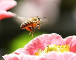 wildlife-phenoloy-bee-lg